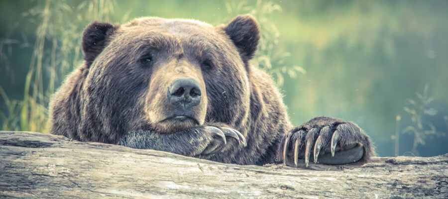 Featured image Bear Safety for Beginners Types of Bears Precautions and More Black Bear - Bear Safety for Beginners - Types of Bears, Precautions, and More