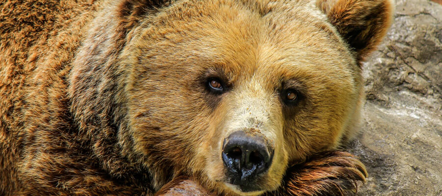 Featured image Bear Safety for Beginners Types of Bears Precautions and More Grizzly Bear - Bear Safety for Beginners - Types of Bears, Precautions, and More
