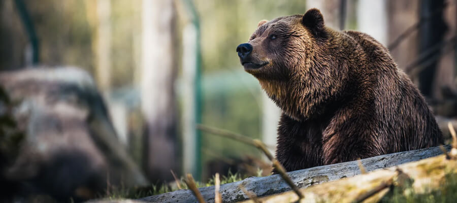 Featured image Bears and Their Importance for the Ecosystem Bears Fertilize the Area they Live In - Bears and Their Importance for the Ecosystem