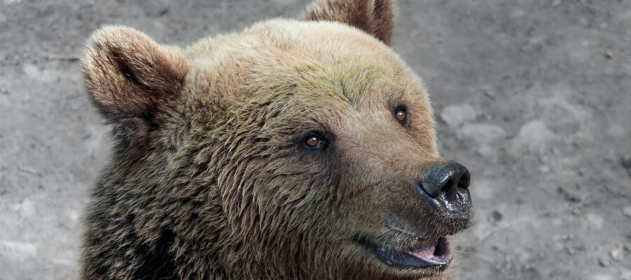 Featured image Online Casinos Strategies to Help Bear and Wildlife Preservation Planning Eco Friendly Initiatives to Actively Help Animals - Online Casinos Strategies to Help Bear and Wildlife Preservation